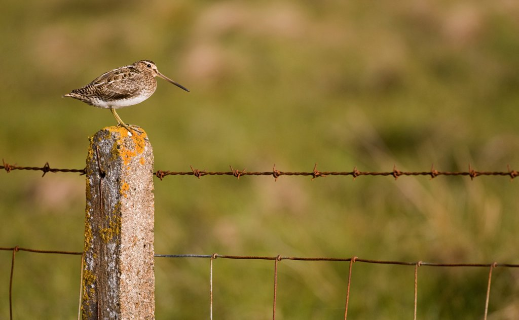 Common Snipe (Gallinago gallinago) adult, standing on lichen covered fencepost, North Uist, Outer Hebrides, Scotland : Stock Photo