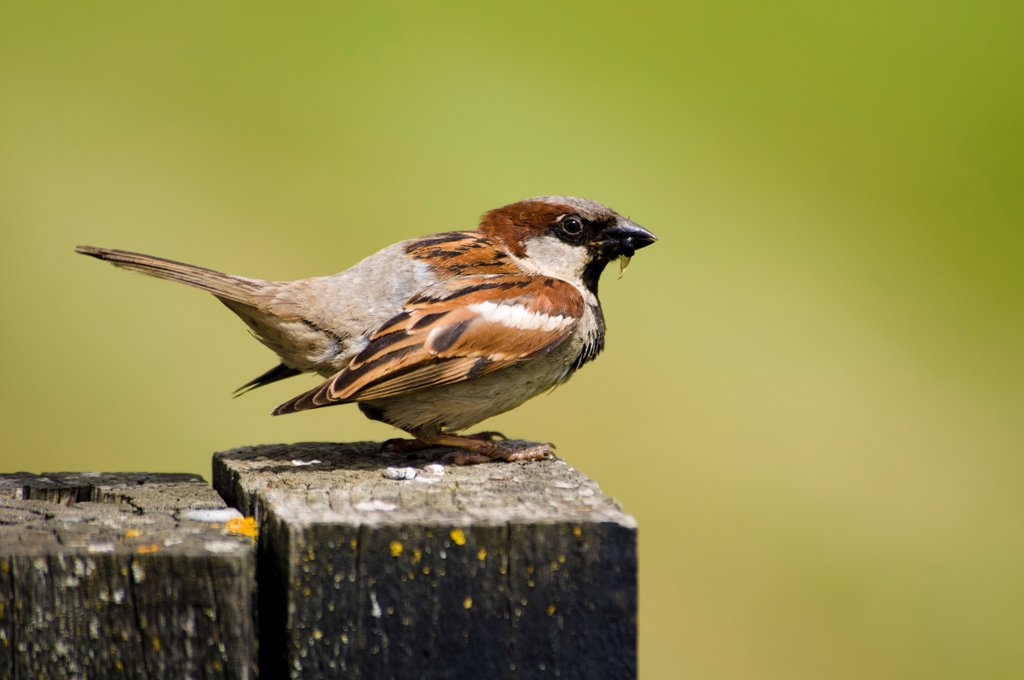 Stock Photo: 4421-11589 House Sparrow (Passer domesticus) adult male, with insects in beak, perched on fencepost, Elmley Marshes Nature Reserve, Isle of Sheppey, Kent, England, june