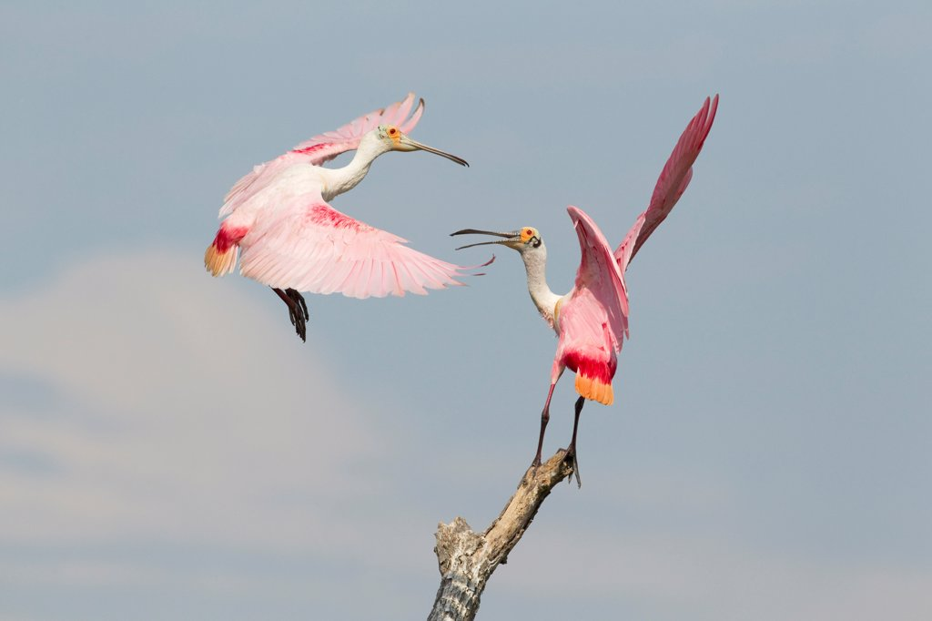 Roseate Spoonbill (Ajaia ajaja) two adults, fighting over position on dead tree, High Island, Bolivar Peninsula, Galveston County, Texas, U.S.A., april : Stock Photo