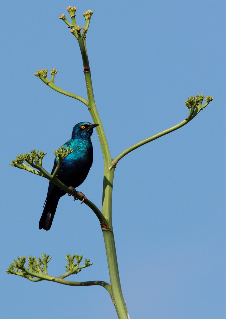 Greater Blue-eared Glossy-starling (Lamprotornis chalybaeus cyaniventris) adult, perched on stem, Lake Baringo, Great Rift Valley, Kenya, november : Stock Photo