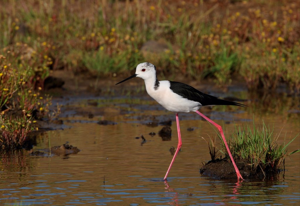 Stock Photo: 4421-11873 Black-winged Stilt (Himantopus himantopus) adult female, walking in shallow water, Algarve, Portugal, april