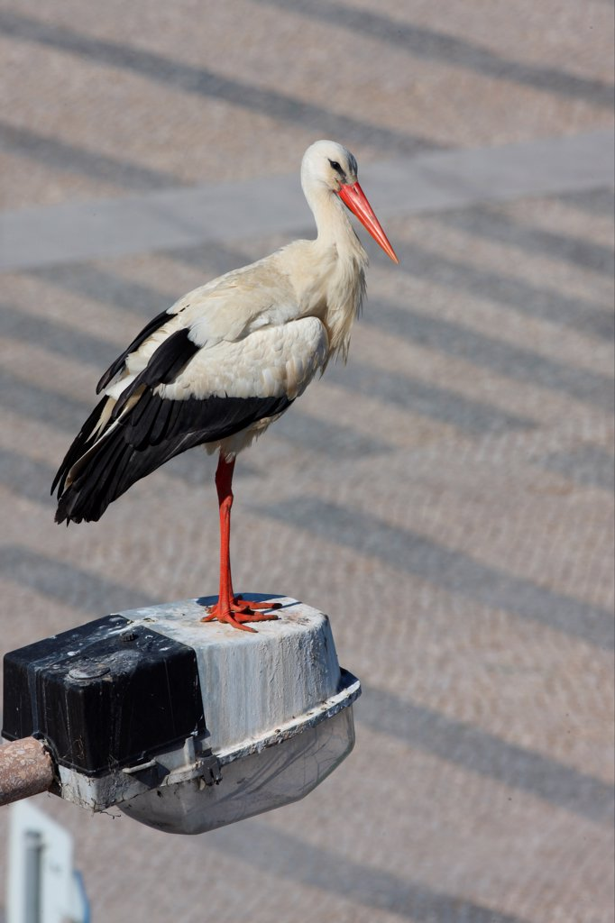 Stock Photo: 4421-11995 White Stork (Ciconia ciconia) adult, standing on street light in city, Faro, Algarve, Portugal, april