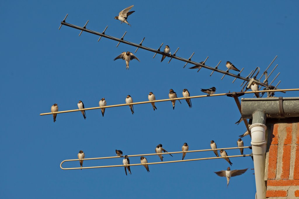 Stock Photo: 4421-12089 Barn Swallow (Hirundo rustica) flock, gathering on television aerial, Northern Spain, september