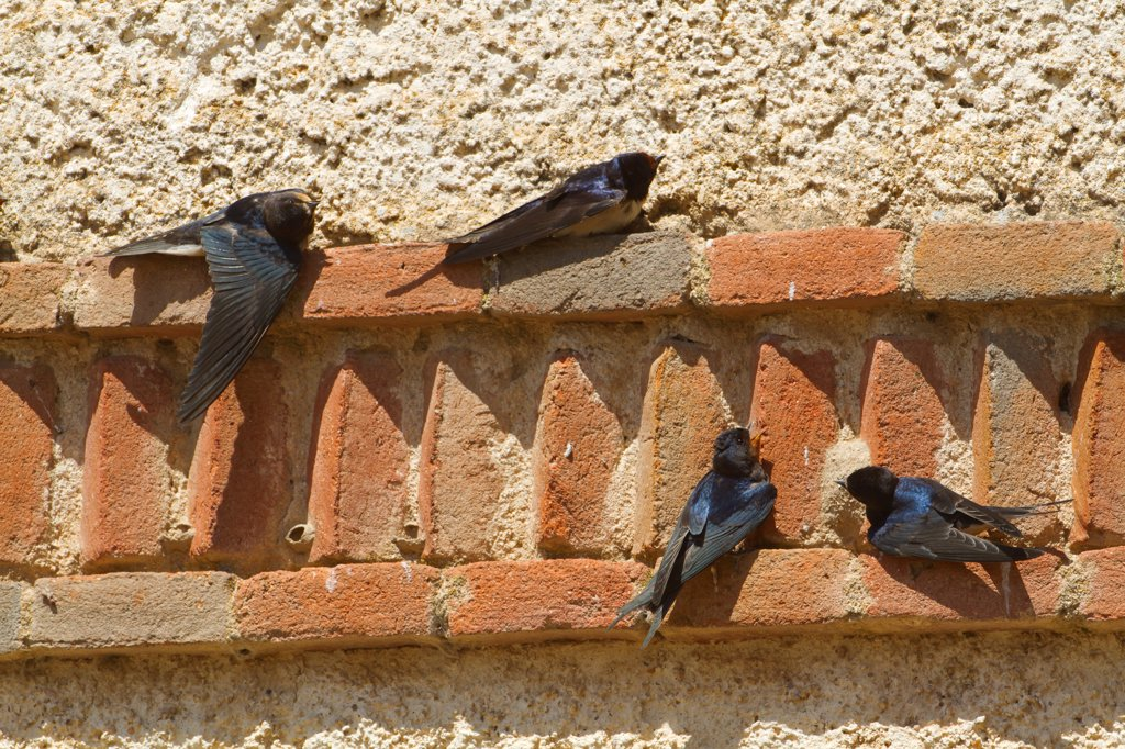 Stock Photo: 4421-12094 Barn Swallow (Hirundo rustica) adult and three juveniles, sunning on wall, Northern Spain, july