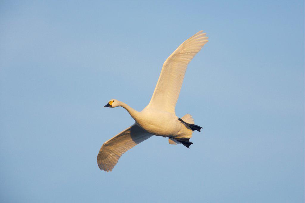 Stock Photo: 4421-12177 Bewick's Swan (Cygnus bewickii) adult, in flight, Slimbridge W.W.T., Gloucestershire, England, winter