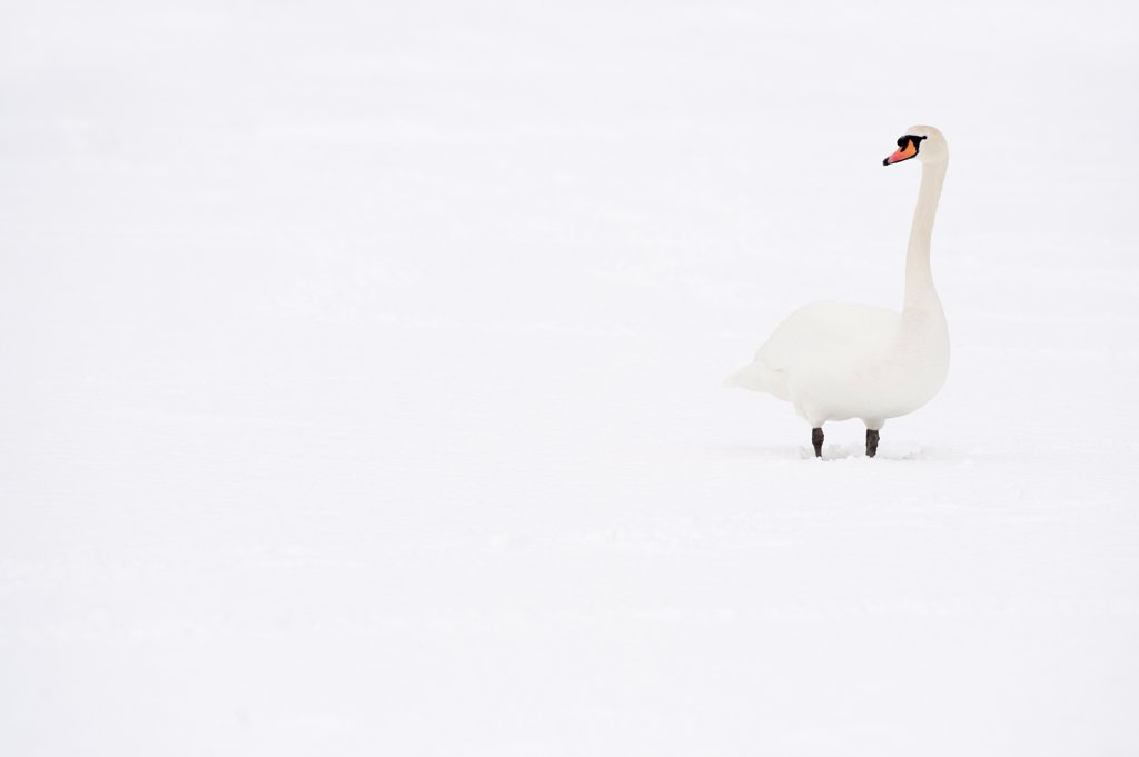 Mute Swan (Cygnus olor) adult, standing in snow, Reddish Vale Country Park, Greater Manchester, England, winter : Stock Photo