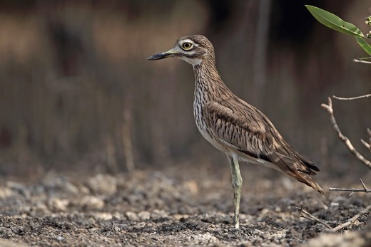 Senegal Thick-knee (Burhinus senegalensis) adult, standing on mud, North Bank, Gambia, february : Stock Photo
