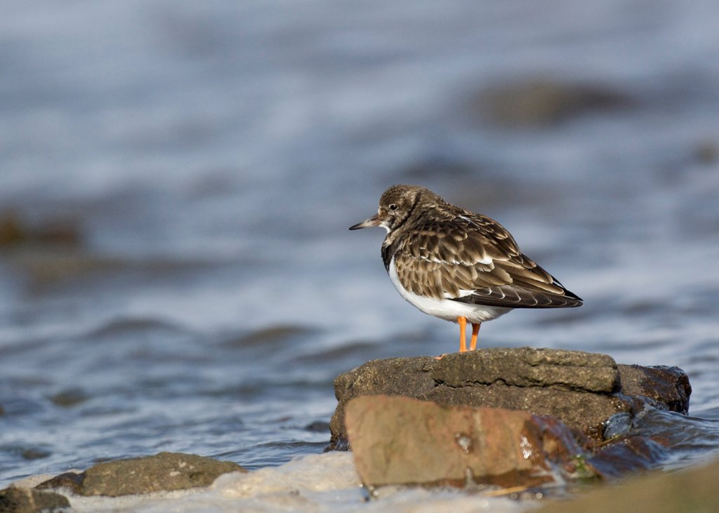 Ruddy Turnstone (Arenaria interpres) adult, winter plumage, standing on rock beside sea, Southerness, Dumfries and Galloway, Scotland, winter : Stock Photo