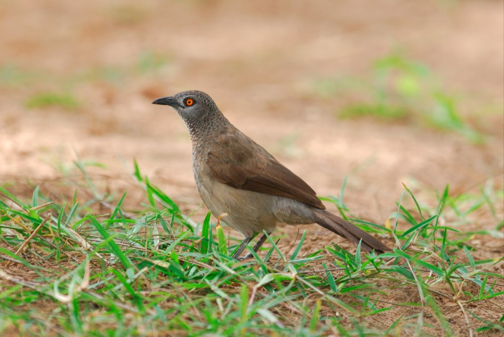 Brown Babbler (Turdoides plebejus) adult, standing in grounds of resort, Gambia, april : Stock Photo
