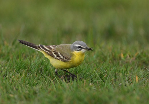 Stock Photo: 4421-13239 Blue-headed Wagtail (Motacilla flava flava) adult male, with fly in beak, standing on short grass, Sea Palling, Norfolk, England, april
