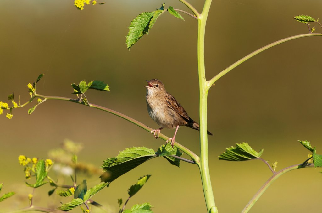 Grasshopper Warbler (Locustella naevia) adult, singing, perched on stem, Norfolk, England, may : Stock Photo