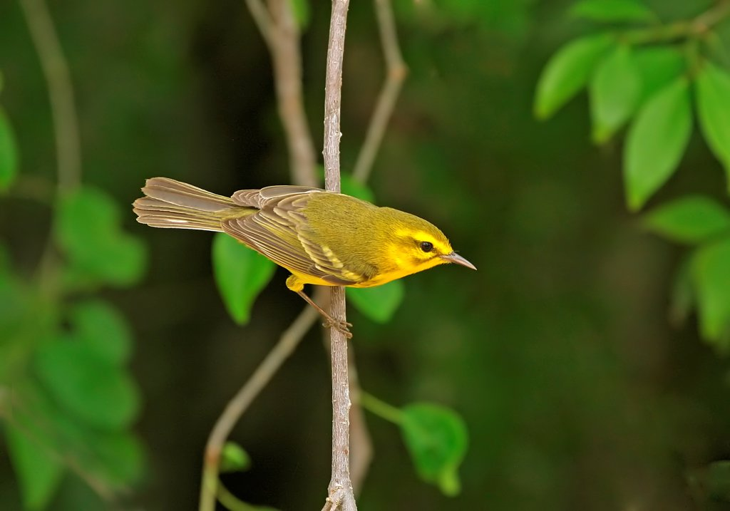 Stock Photo: 4421-13539 Vitelline Warbler (Dendroica vitellina) adult, perched on twig, Cayman Islands