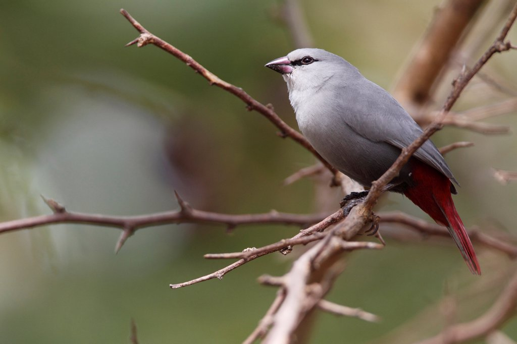 Lavender Waxbill (Estrilda caerulescens) adult, perched on twig, Gambia, january : Stock Photo