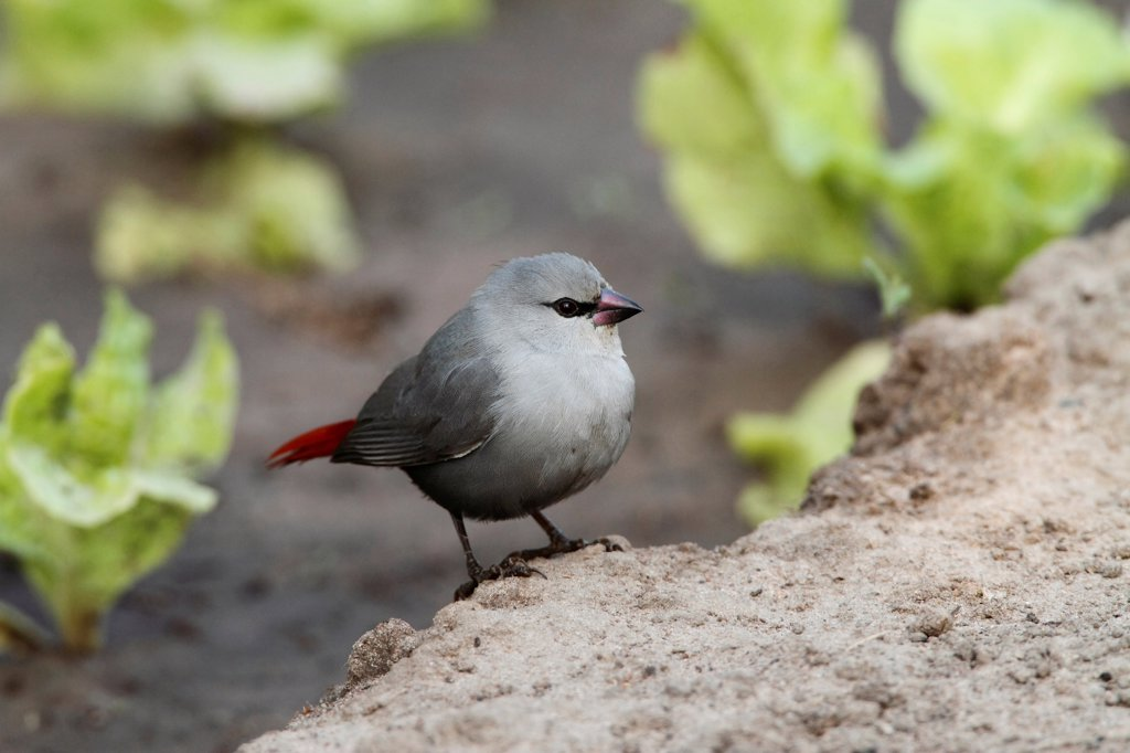 Lavender Waxbill (Estrilda caerulescens) adult, standing on ground, Gambia, january : Stock Photo