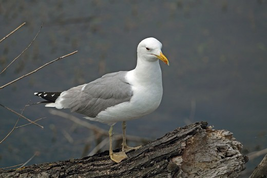 Stock Photo: 4421-1376 Caspian Gull (Larus cachinnans) adult, summer plumage, standing on log beside water, Tulcea, Danube Delta, Dobrogea, Romania, may