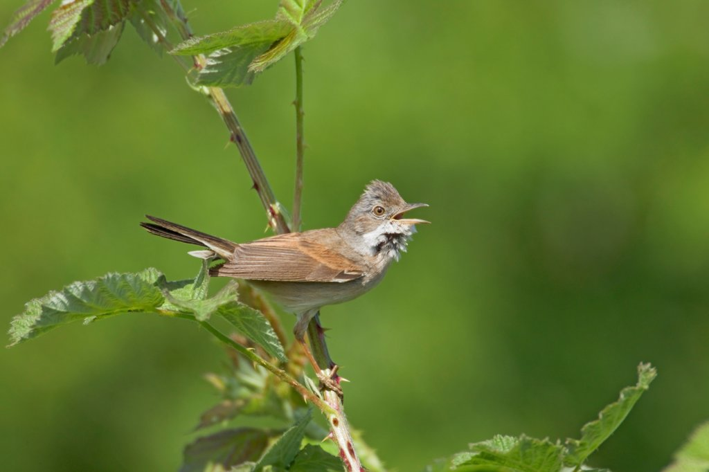 Common Whitethroat (Sylvia communis) adult male, singing, perched on stem with thorns, Essex, England, april : Stock Photo