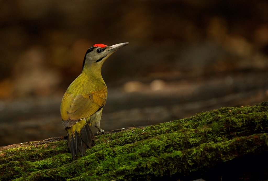 Grey-headed Woodpecker (Picus canus hessei) adult male, standing on mossy log, Kaeng Krachan N.P., Thailand, november : Stock Photo