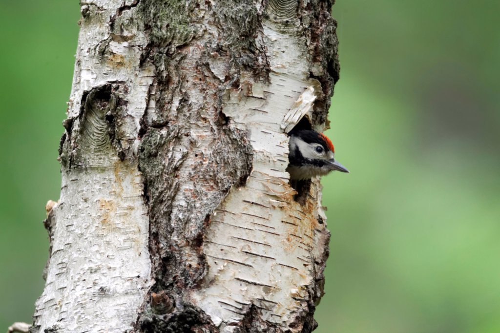 Greater Spotted Woodpecker (Dendrocopos major) young, looking out from nesthole entrance in birch tree trunk, Warwickshire, England, may : Stock Photo