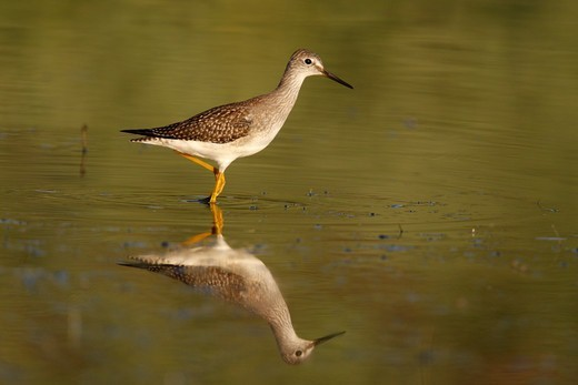 Lesser Yellowlegs (Tringa flavipes) adult, wading in shallow water, New York, U.S.A., summer : Stock Photo
