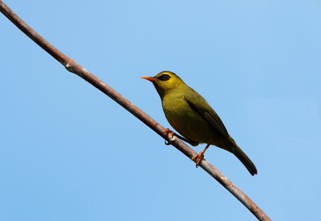 Mountain Blackeye (Chlorocharis emiliae) adult, perched on branch, Crocker Range N.P., Sabah, Borneo, Malaysia, january : Stock Photo