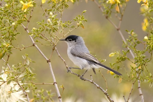 Stock Photo: 4421-14304 Black-tailed Gnatcatcher (Polioptila melanura) adult male, perched in mesquite, U.S.A.