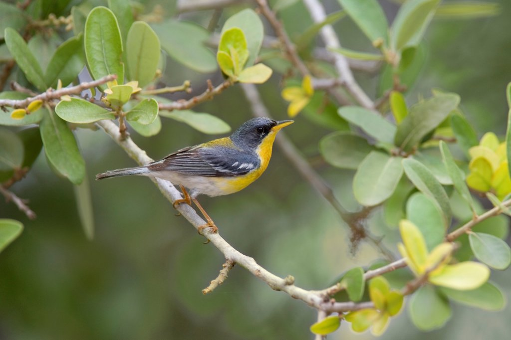 Tropical Parula (Parula pitiayumi) adult male, perched on twig in live oak, Texas, U.S.A. : Stock Photo