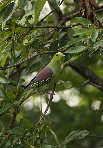 Ceylon Green Pigeon (Treron pompadora) adult male, perched in tree, Sri Lanka, december : Stock Photo