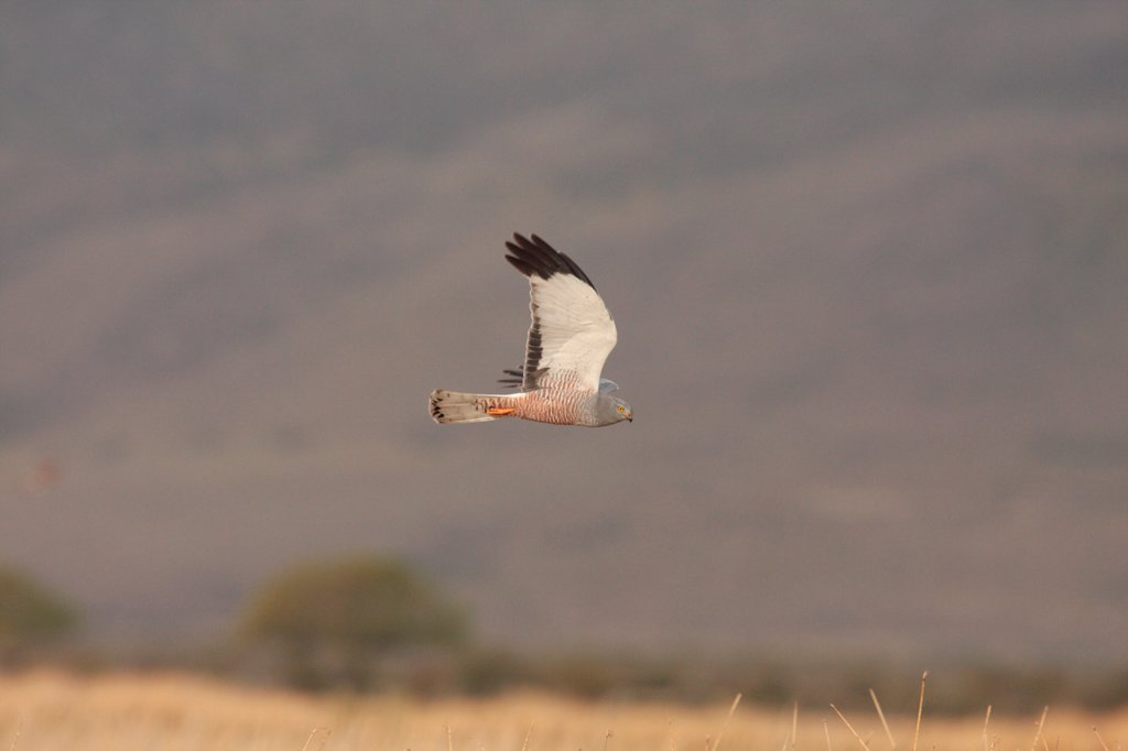 Stock Photo: 4421-14706 Cinereous Harrier (Circus cinereus) adult male, in flight, hunting over reedbeds and grasslands, Estancia Angostura, Santa Cruz, Argentina, november