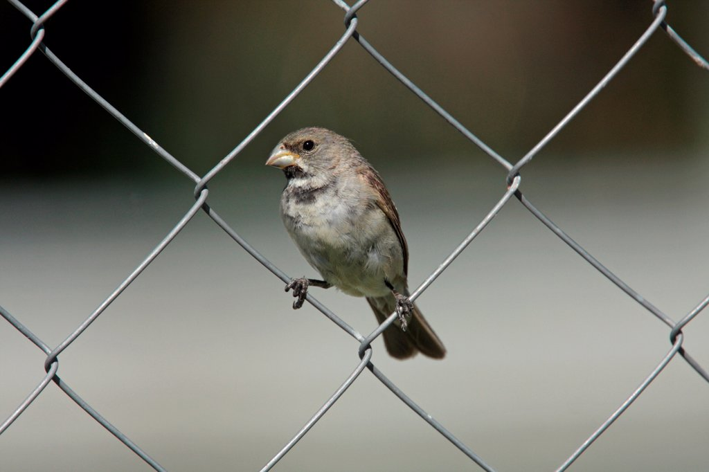 Double-collared Seedeater (Sporophila caerulescens) adult male, perched on chainlink fence, Costanera Sur, Buenos Aires Province, Argentina, february : Stock Photo