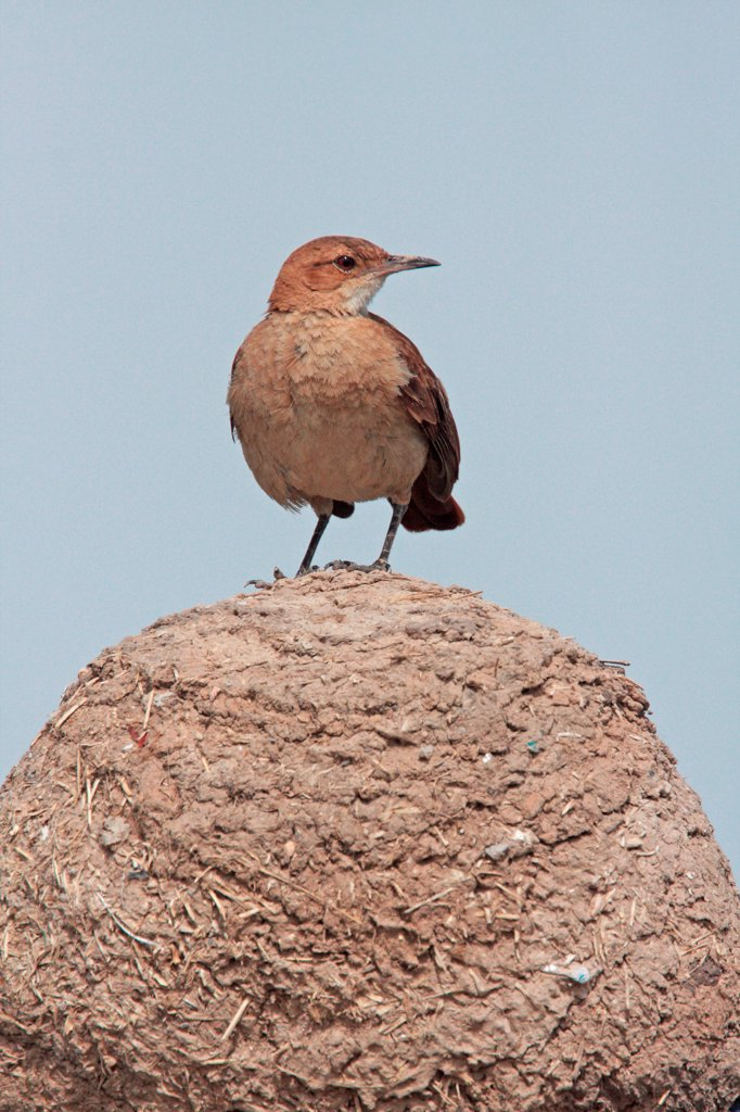 Stock Photo: 4421-14878 Rufous Hornero (Furnarius rufus) adult, perched on mud 'oven' nest, Buenos Aires Province, Argentina, november