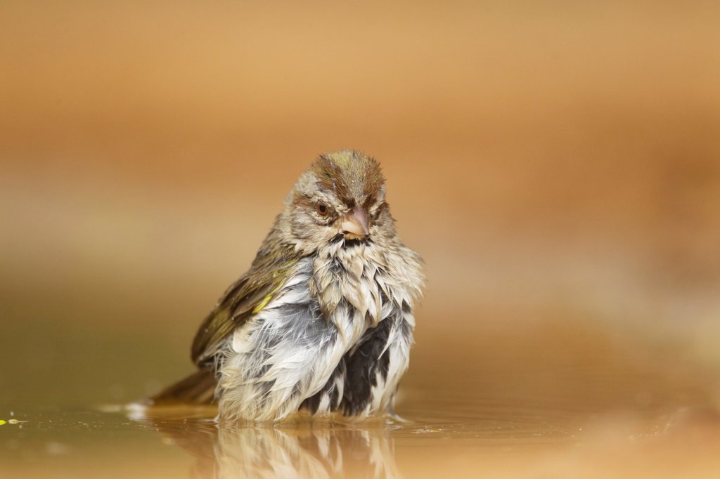 Stock Photo: 4421-14961 Olive Sparrow (Arremonops rufivirgatus) adult, bathing in pool, South Texas, U.S.A., may