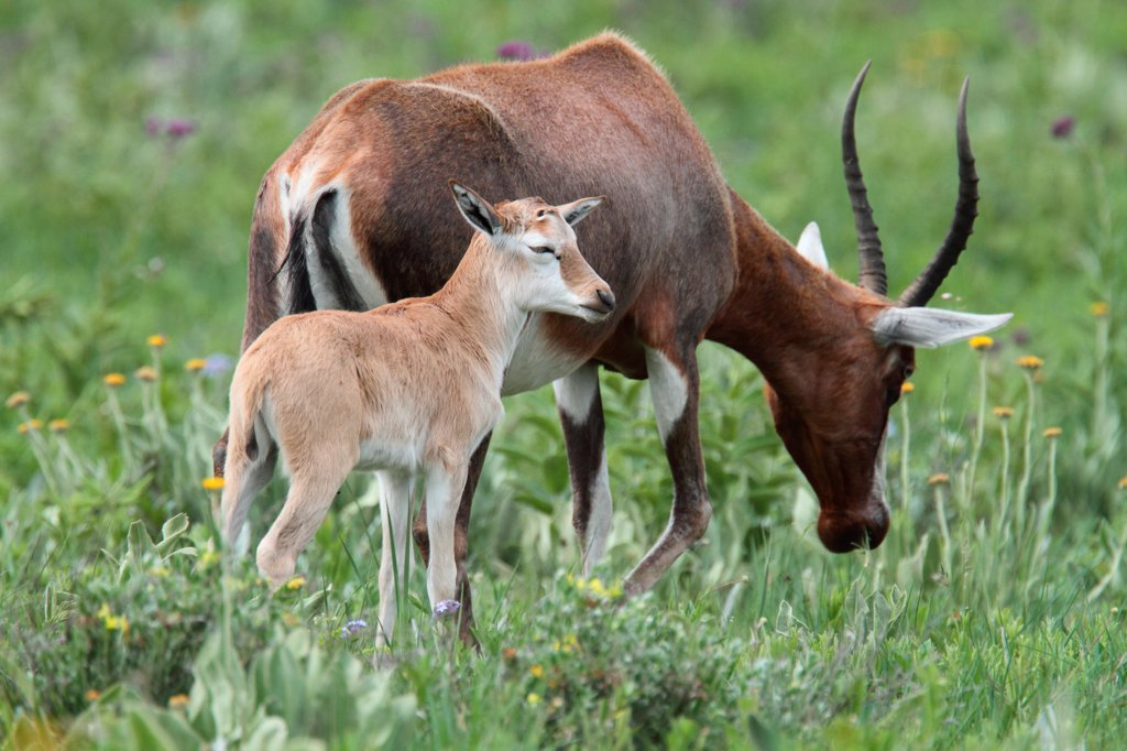 Blesbok (Damaliscus dorcas phillipsi) adult female with calf, Malolotja Nature Reserve, Swaziland : Stock Photo