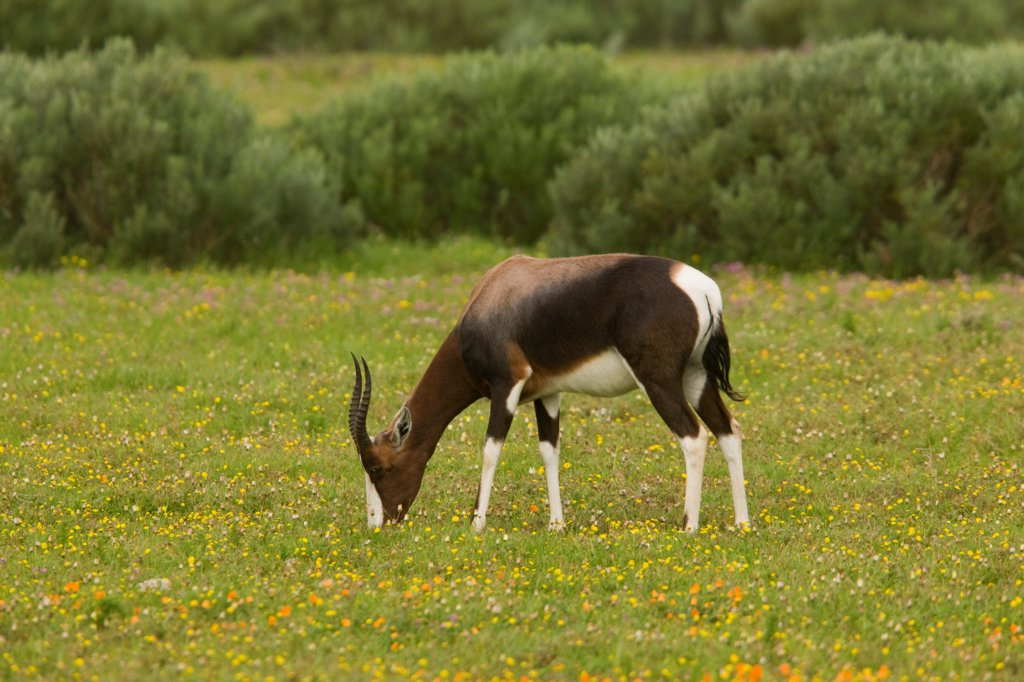 Bontebok (Damaliscus dorcas) adult female grazing, Postberg, West Coast N.P., Cape, South Africa : Stock Photo