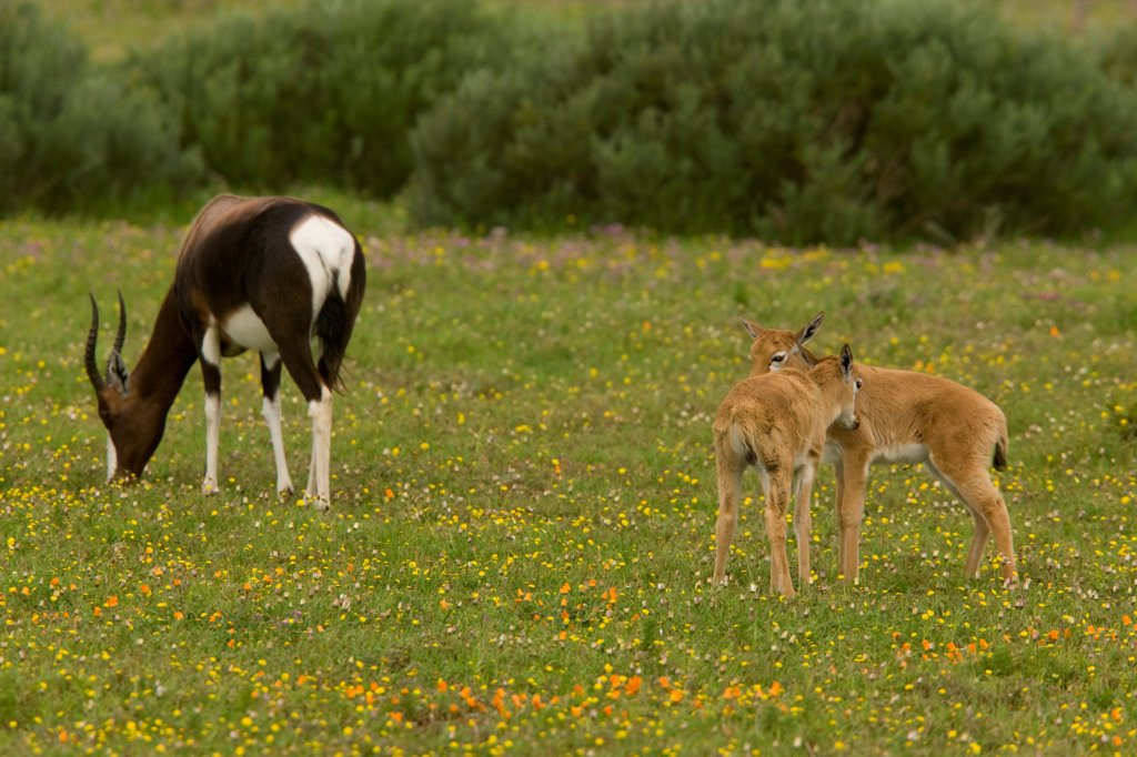 Stock Photo: 4421-15073 Bontebok (Damaliscus dorcas) adult female with young, Postberg, West Coast N.P., Cape, South Africa
