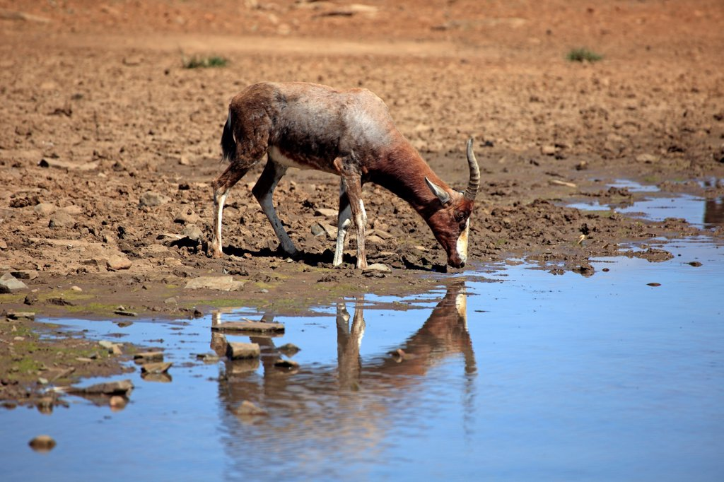 Bontebok (Damaliscus dorcas dorcas) adult, drinking at waterhole, Mountain Zebra N.P., Eastern Cape, South Africa : Stock Photo