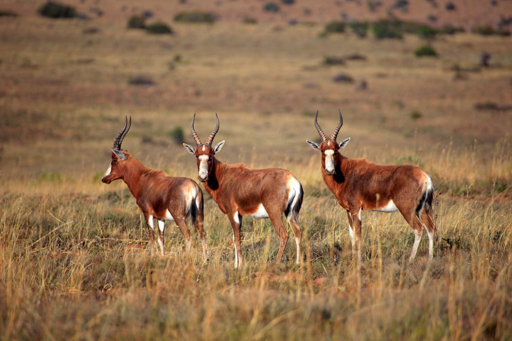 Stock Photo: 4421-15077 Bontebok (Damaliscus dorcas dorcas) three adults, standing in habitat, Mountain Zebra N.P., Eastern Cape, South Africa