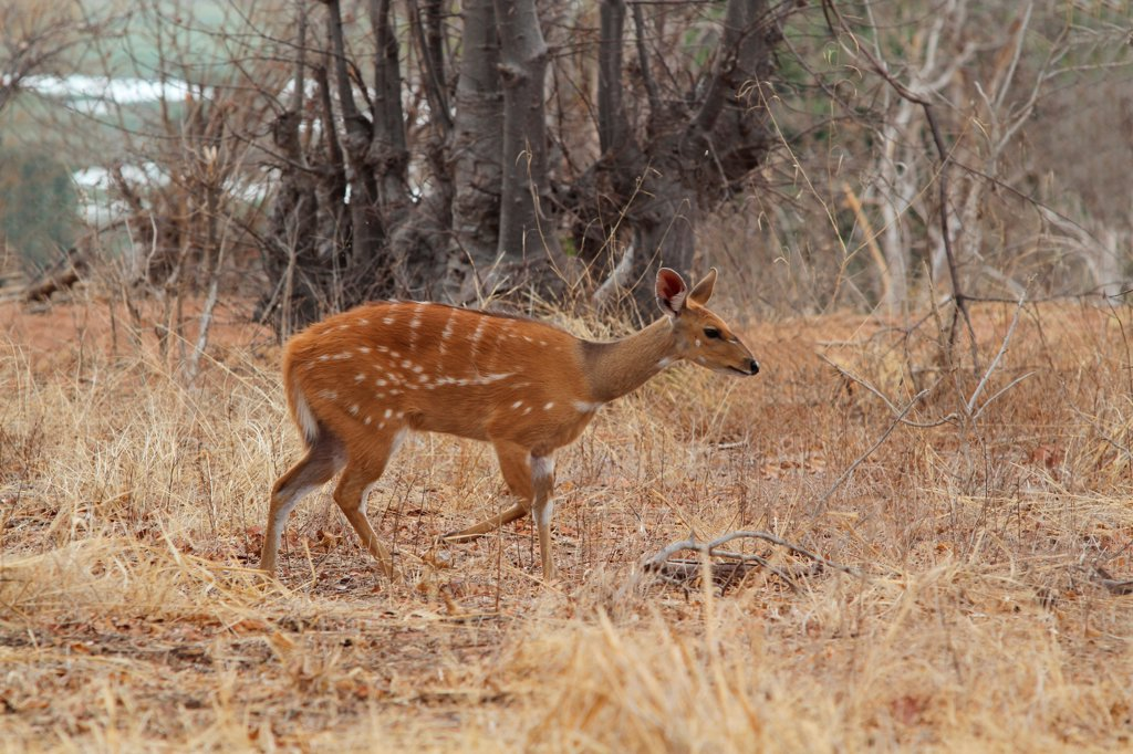Southern Bushbuck (Tragelaphus scriptus sylvaticus) adult female, walking in dry grass, Chobe N.P., Botswana : Stock Photo