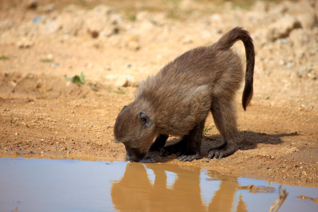 Chacma Baboon (Papio ursinus) juvenile, drinking at waterhole, Cape Peninsula, Western Cape, South Africa : Stock Photo