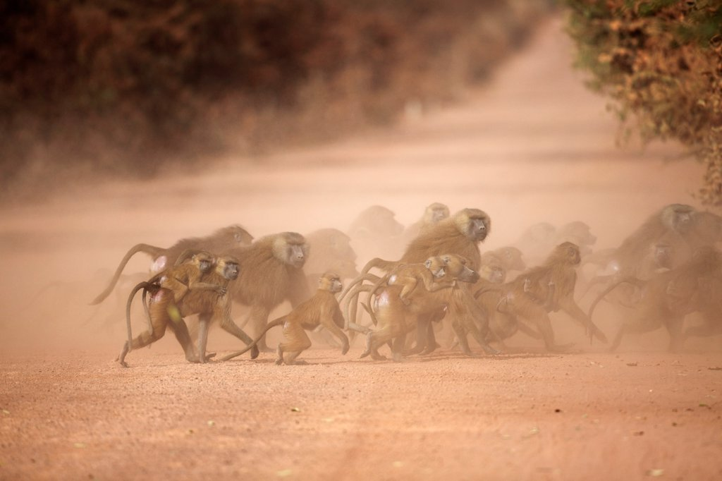 Guinea Baboon (Papio papio) adult males, adult females carrying babies and juveniles, group crossing dusty dirt road, Gambia : Stock Photo