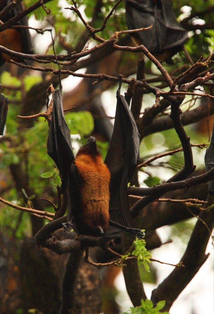 Indian Flying Fox (Pteropus giganteus) adult, roosting in tree, hanging upside-down to defecate, Sri Lanka, december : Stock Photo