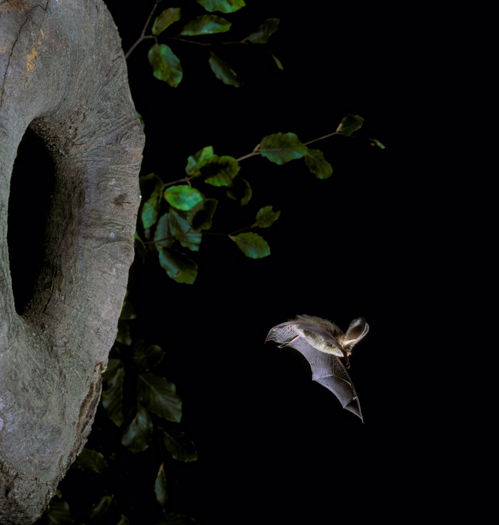 Stock Photo: 4421-15278 Brown Long-eared Bat (Plecotus auritus) adult, in flight from hole in tree, England