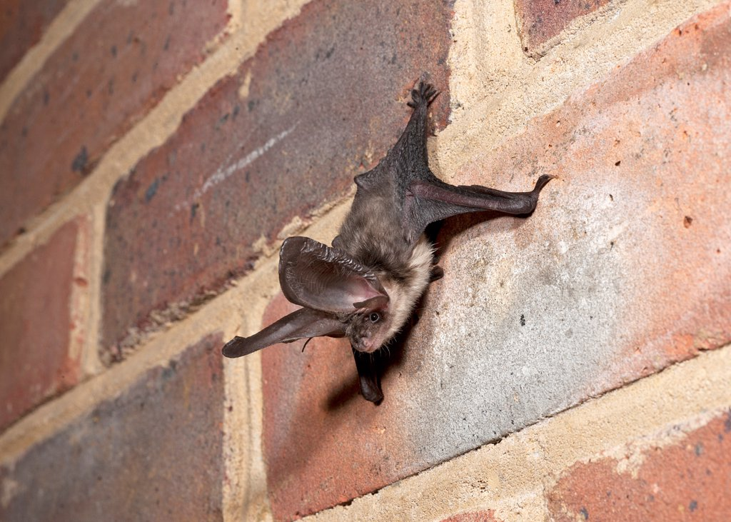 Stock Photo: 4421-15279 Brown Long-eared Bat (Plecotus auritus) juvenile, clinging to brick wall, England, august