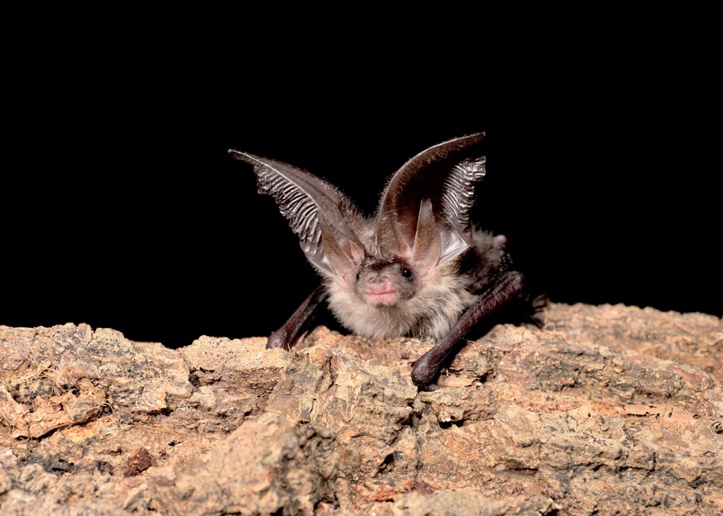Stock Photo: 4421-15280 Brown Long-eared Bat (Plecotus auritus) juvenile male, resting on branch, England, august