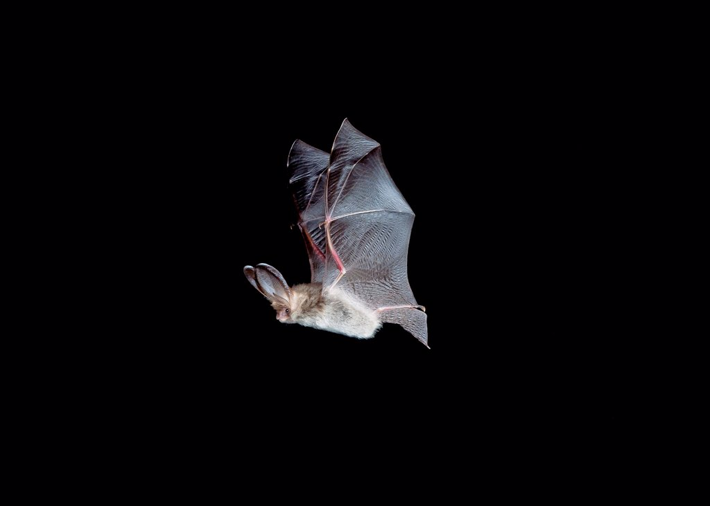 Stock Photo: 4421-15283 Brown Long-eared Bat (Plecotus auritus) adult, in flight, Sussex, England