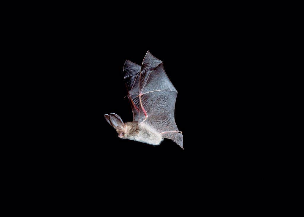 Brown Long-eared Bat (Plecotus auritus) adult, in flight, Sussex, England : Stock Photo