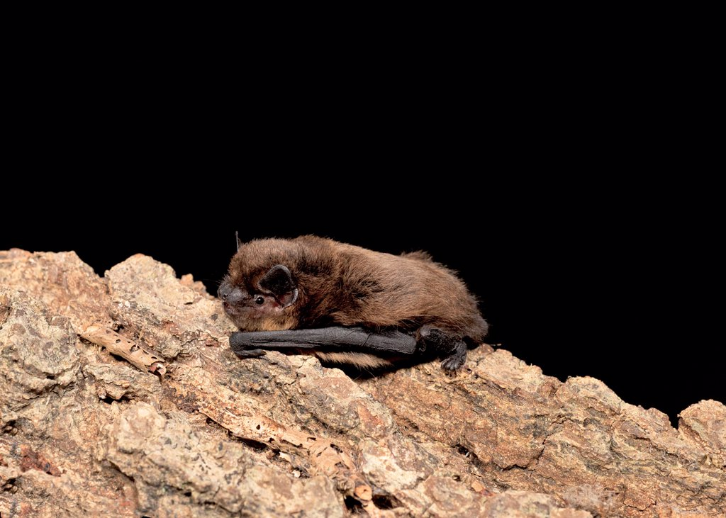 Common Pipistrelle (Pipistrellus pipistrellus) juvenile male, resting on log, England, august : Stock Photo