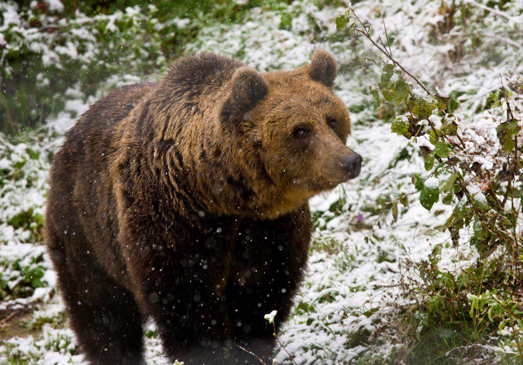 European Brown Bear (Ursus arctos arctos) adult, standing in falling snow, Brown Bear sanctuary, Zarnesti, Transylvania, Romania, october : Stock Photo