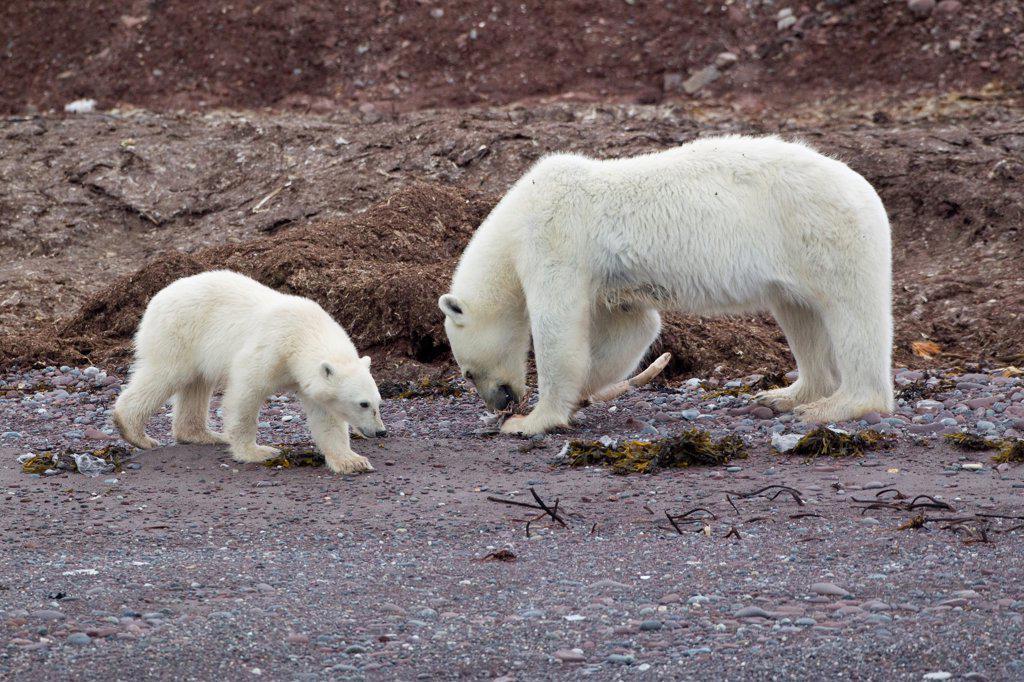 Polar Bear (Ursus maritimus) adult female with cub, feeding on dead bird, standing on beach, Spitzbergen, Svalbard, july : Stock Photo