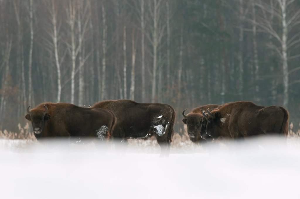 Stock Photo: 4421-15565 European Bison (Bison bonasus) herd, standing in snow covered field, Bialowieza N.P., Podlaskie Voivodeship, Poland, february