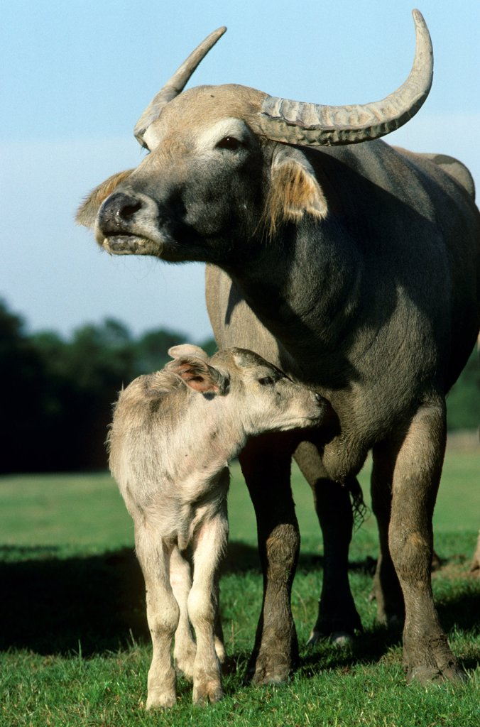 Domestic Water Buffalo (Bubalus bubalis) cow and calf, standing together, captive : Stock Photo